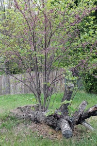 stubborn tree