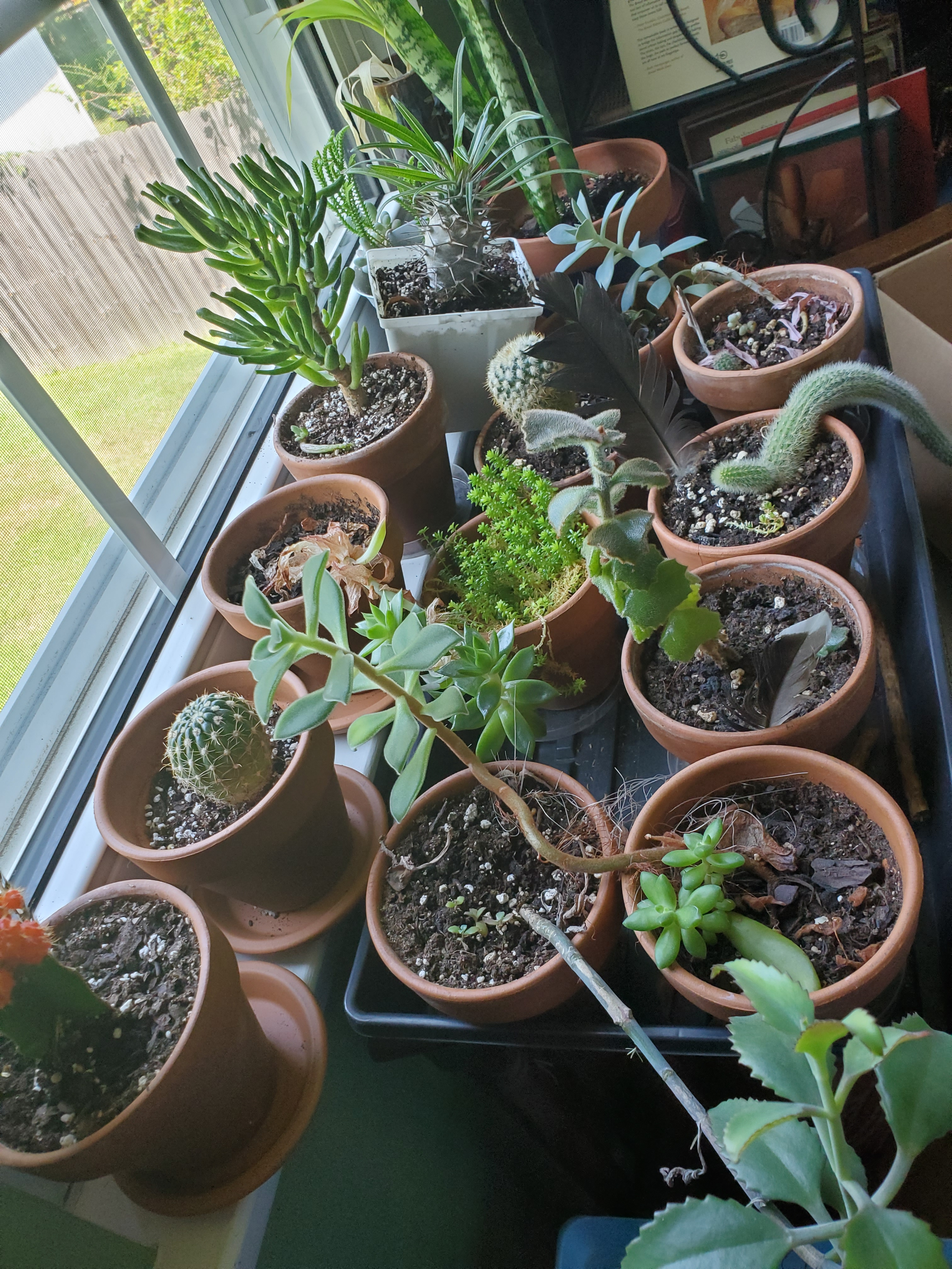 cacti, all in a row